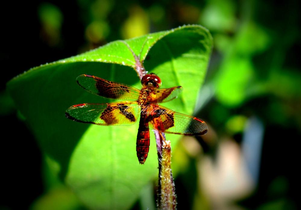 Dragonfly WP