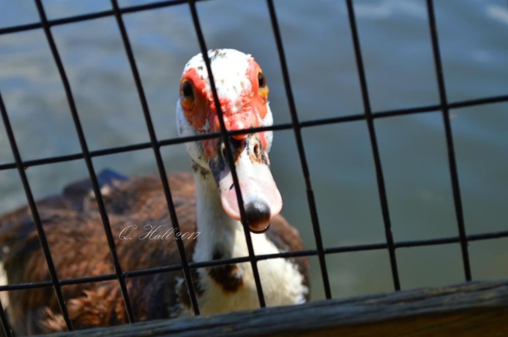 Duck WP.jpg